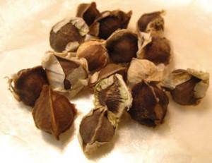 Les graines de Moringa Oleifera