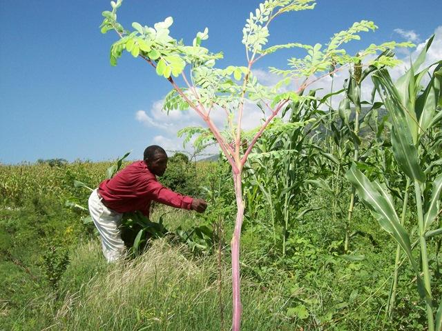 Moringa Oleifera : Plante traditionnelle miracle