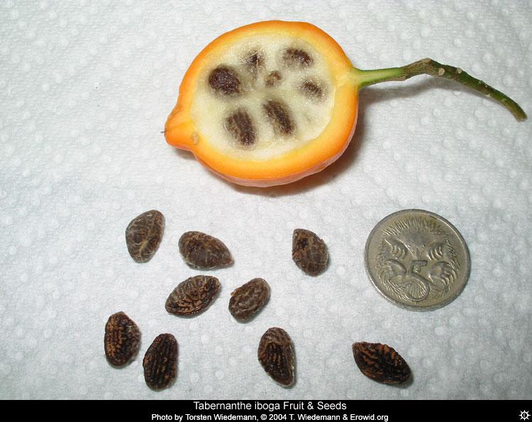 Le fruit et les graines de l'iboga - tabernanthe_iboga_fruit and seeds