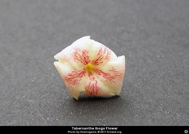 Les fleurs de l'iboga - tabernanthe_iboga_flower__i2010e0547_disp