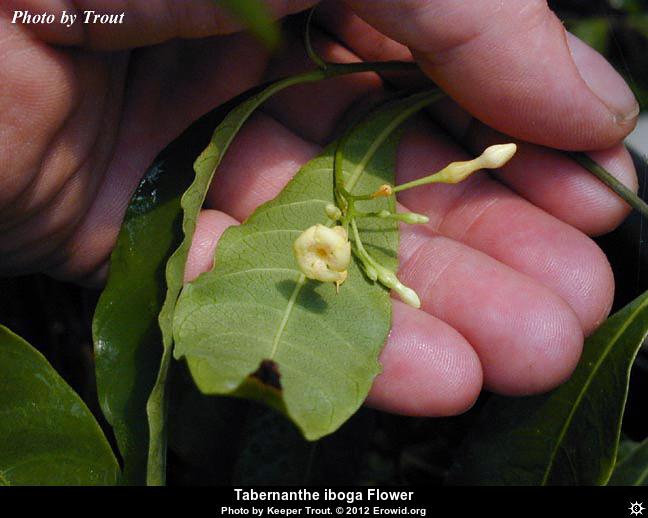 tabernanthe_iboga_flower__i2012e0443_disp