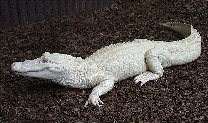 Albino Alligator (Southeast United States particularly Louisiana)