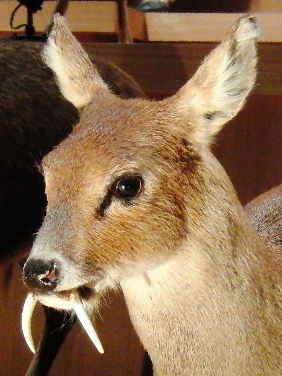Chinese_water_deer_Stuffed_specimen_2 wikipedia
