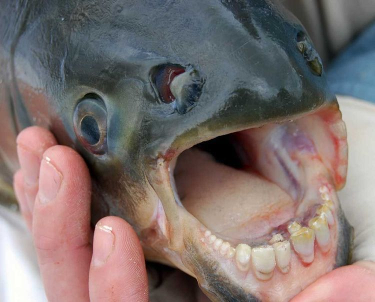 Le Pacu Fish, mangeur de testicules (oui)