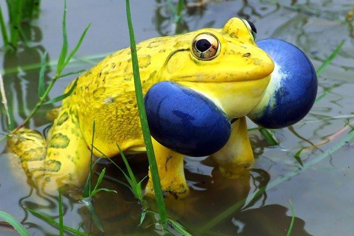 Le crapaud-buffle indien et ses couleurs jaune bleu flashy