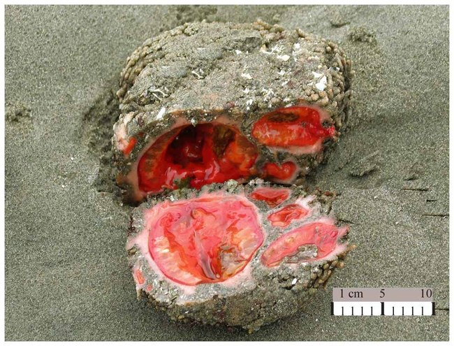 Pyura Chilensis (The Rock Living) 2