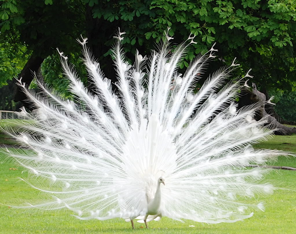 White Peacocks (Found in Grasslands of Australia and India)