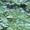 blue-green-algae01-100x100
