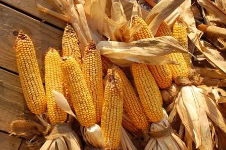 extraire l'or avec le maïs