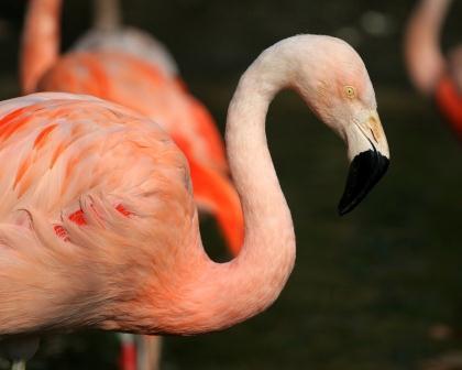 flamant-rose Parc national des oiseaux du Djoudj