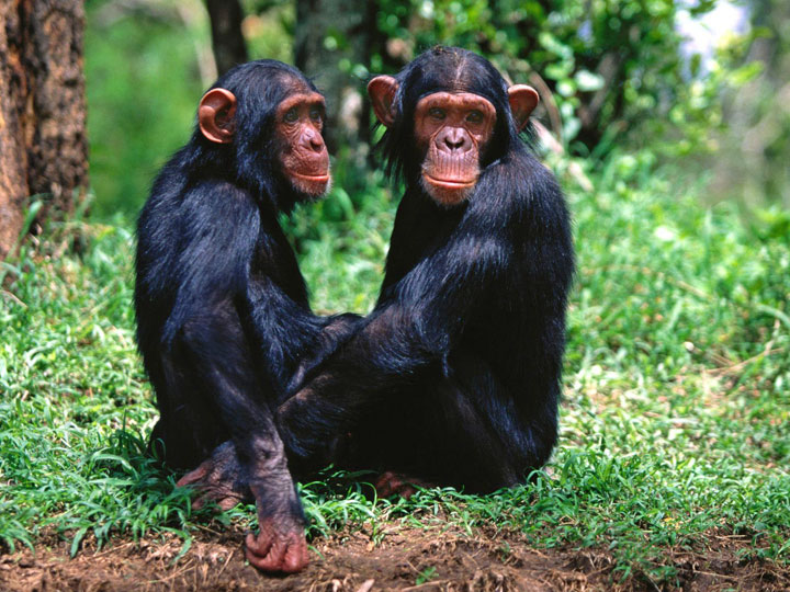 odzala-kokoua-National-Park-chimpanzees