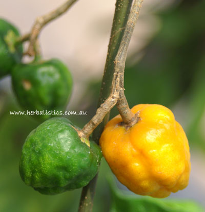 Le fruit de l'iboga -Tabernanthe iboga