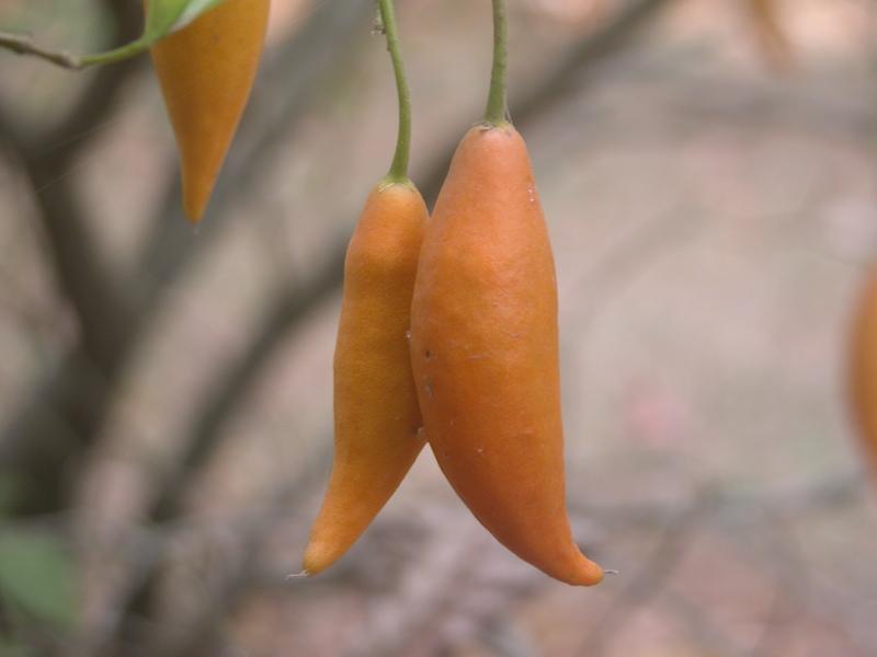 tabernanthe_iboga_bail -fruit