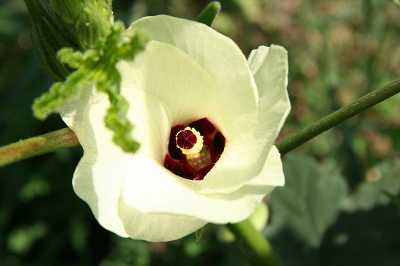 Fleur du Gombo - okra flower