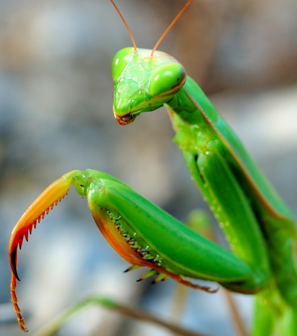 Praying Mantis African Natural Pregnancy Test Afroculture Net